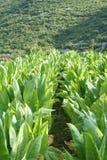 Het gebied van Tabacco Stock Fotografie