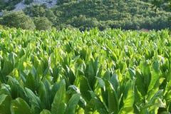 Het gebied van Tabacco Stock Afbeelding