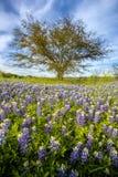Het gebied van Texas bluebonnet en eenzame boom bij Muleshoe-Krommingsrecreatie Royalty-vrije Stock Fotografie