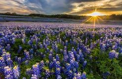 Het gebied van Texas bluebonnet in zonsondergang bij Muleshoe-Krommingsrecreatie is Stock Afbeeldingen