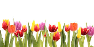 Het gebied van tulpen Royalty-vrije Stock Afbeelding