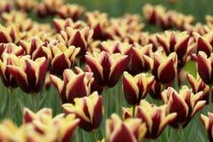 Het gebied van tulpen Royalty-vrije Stock Fotografie