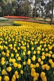 Het gebied van tulpen royalty-vrije stock foto's