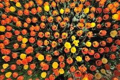 Het gebied van tulpen stock afbeelding