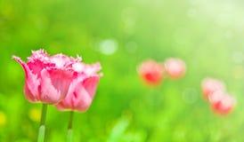 Het gebied van tulpen Stock Foto