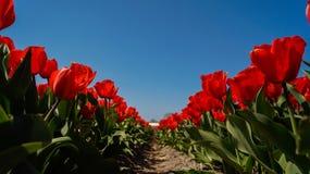 Het gebied van tulpen Stock Foto's