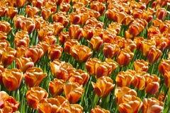 Het gebied van tulpen Stock Afbeeldingen