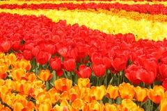 Het gebied van tulpen Stock Fotografie