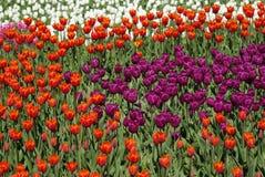 Het gebied van tulpen Flowersbed Royalty-vrije Stock Afbeelding