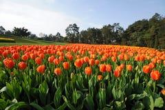 Het gebied van tulpen onder blauwe hemel royalty-vrije stock afbeeldingen