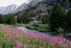 Het gebied van willowherb bloeit op de achtergrond van bergrivier stock foto's