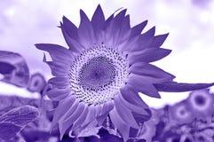 Het gebied van zonnebloemen Royalty-vrije Stock Fotografie