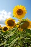 Het gebied van zonnebloemen Stock Afbeeldingen