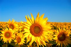 Het gebied van zonnebloemen Stock Foto