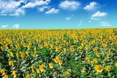 Het gebied van zonnebloemen Stock Foto's