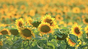 Het gebied van zonnebloemen stock video
