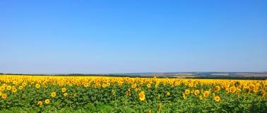 Het gebied van zonnebloemen Stock Fotografie