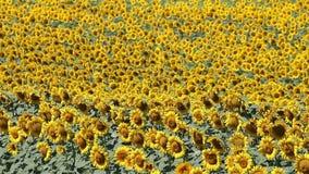 Het gebied van zonnebloemen stock footage