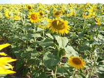 Het gebied van zonnebloemen Royalty-vrije Stock Afbeelding