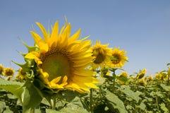Het gebied van zonnebloemen en blauwe hemel Royalty-vrije Stock Foto's