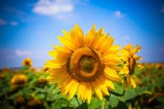 Het gebied van zonnebloemen Heldere blauwe hemel royalty-vrije stock afbeelding