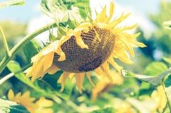 Het gebied van zonnebloemen Sluit omhoog mening van zonnebloem in het zonlicht Stock Foto