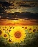 Het gebied van zonnebloemen in zonsondergangtijd Stock Fotografie
