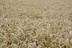 Het gebiedsachtergrond van de tarwe Stock Fotografie