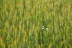 Het gebiedsachtergrond van de tarwe stock afbeelding
