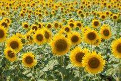 Het gebiedsachtergrond van de zonnebloem Royalty-vrije Stock Foto's