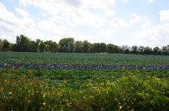 Het gebiedsgewas van het koolflard wildflower in de Staat van New York Royalty-vrije Stock Fotografie