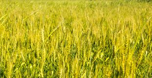 Het gebiedsgezoem van tarweaartjes binnen Stock Foto