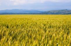 Het gebiedslandschap van de tarwe Royalty-vrije Stock Afbeelding