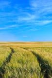 Het gebiedssporen van de tarwe met een duidelijke hemel in de lente Stock Foto
