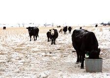 Het gebiedsvee van Nebraska in de sneeuw royalty-vrije stock afbeelding