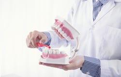 Het gebit van de borsteltanden van tandartsshowing cleaning of tandkaakmodel royalty-vrije stock afbeeldingen