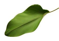 Het gebladerte van Calathealutea, Sigaar Calathea, Cubaanse Sigaar, Exotisch tropisch die blad, Calathea-blad, op witte achtergro royalty-vrije stock afbeelding