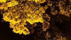 Het gebladerte van de de herfstesdoorn bij nacht Royalty-vrije Stock Afbeelding