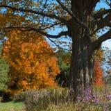 Het gebladerte van de herfst en purpere asters Stock Fotografie