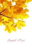 Het gebladerte van de herfst. Esdoorn Stock Foto