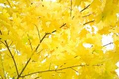 Het gebladerte van de herfst van gouden esdoorn royalty-vrije stock fotografie
