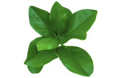 Het Gebladerte van de magnolia royalty-vrije stock foto's