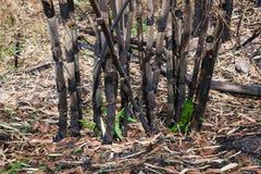 Het gebrande bamboe in het bos na wildfire royalty-vrije stock afbeeldingen