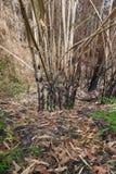 Het gebrande bamboe in het bos na wildfire stock foto