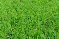 Het gebruik van het rijstlandbouwbedrijf voor achtergrond Stock Afbeelding