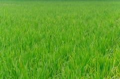 Het gebruik van het rijstlandbouwbedrijf voor achtergrond Royalty-vrije Stock Foto's