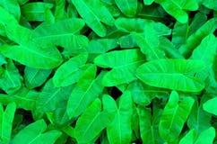 Het gebruik van Philodendronbladeren als achtergrond Stock Afbeeldingen