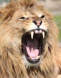 Het gebrul van de leeuw Royalty-vrije Stock Foto's