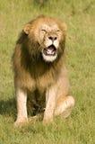 Het gebrul van de leeuw Stock Foto