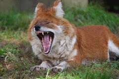 Het gebrul van de vos Stock Foto's